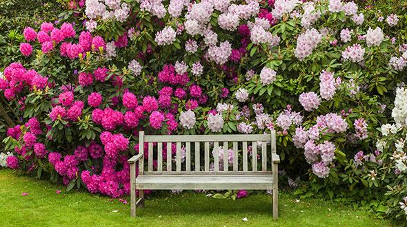 rhododendron shrub plant