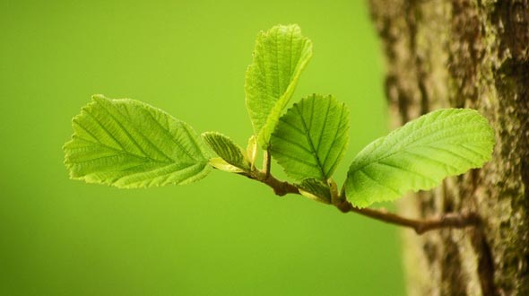 Tree growth new limb with meristem tissue