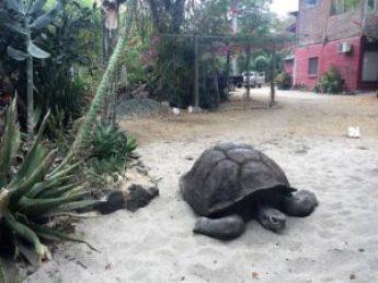 Miguelito the Giant Tortoise