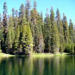 Bosques de coniferas