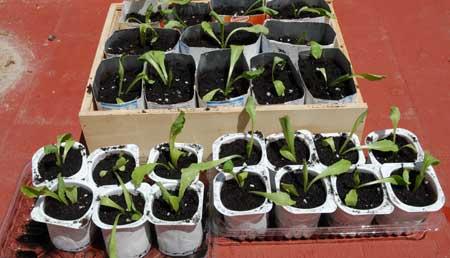 Plantones de lechugas de repuesto