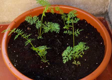 Plantones de zanahorias nantesas
