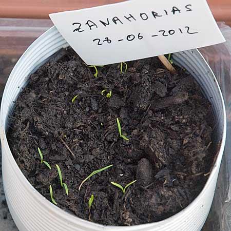 Zanahorias a los 11 días
