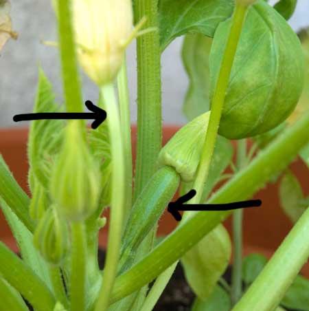 Flor masculina y femenina del calabacín