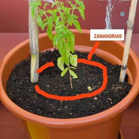 Albahaca de hoja grande con zanahorias