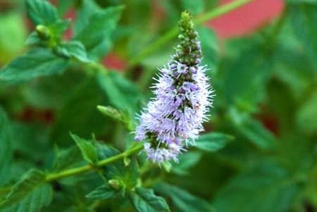Flor de menta piperita