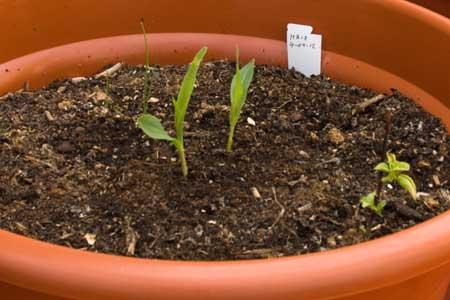Maíz a los 18 días de la siembra