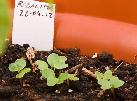 Rabanitos a los 7 días de la siembra