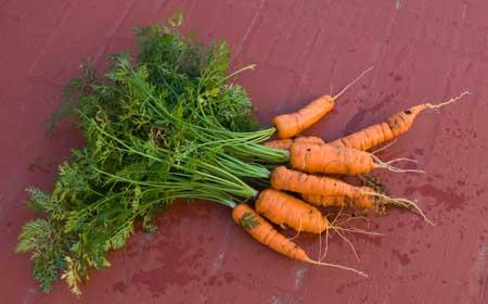 Zanahorias a los 133 días de la siembra