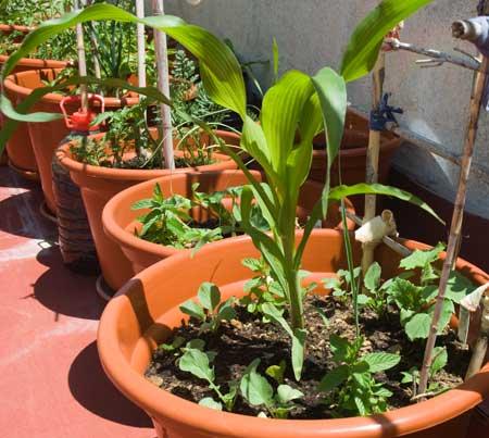 Maíz a los 56 días de la siembra, con rabanitos y pepino