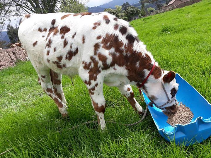 Cinco datos curiosos sobre las vacas