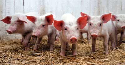 Como criar porcinos