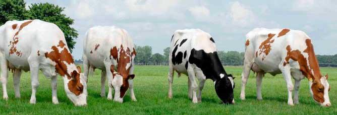 ¿Cuanto tarda una vaca en parir?