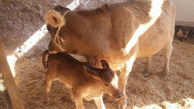 Como evitar la perdida de becerros durante el parto en vacas