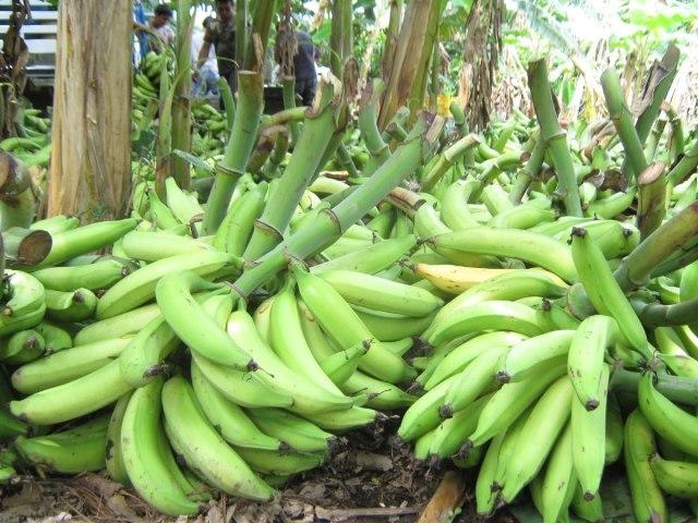 Cultivo de plátano – Como cultivar, cuidados y consejos
