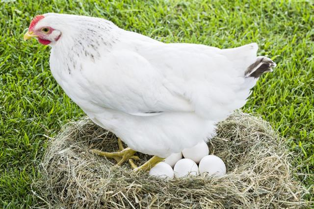 gallina poniendo huevos