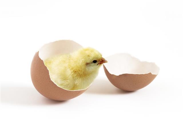 Diferencia entre los huevos fertilizados y no fecundados