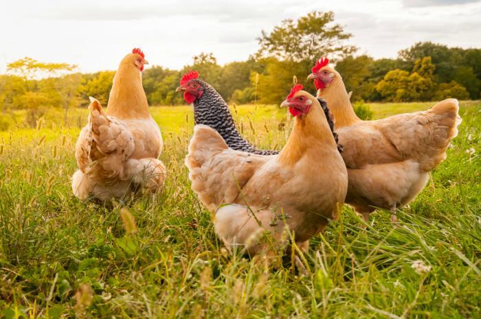 Huevos de gallina para incubar – consejos, tips y cuidados que debes tener