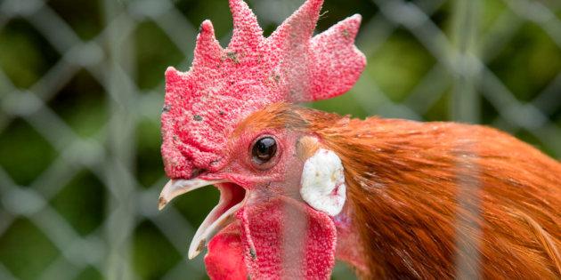 gallo en cria de gallinas