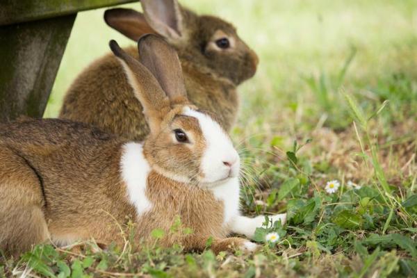 ¿Porque cambian de color los conejos?