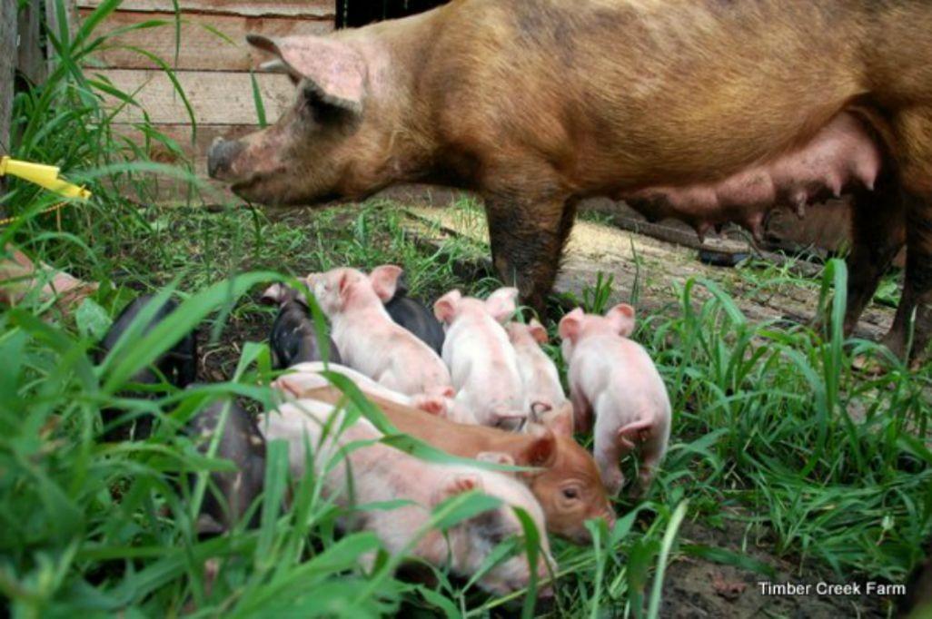 ¿Como alimentar cerdos?