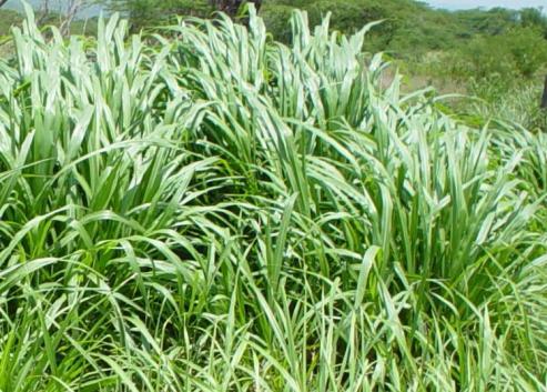 Pennisetum purpureum pasto