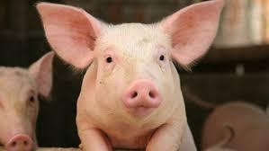 cerdo vive
