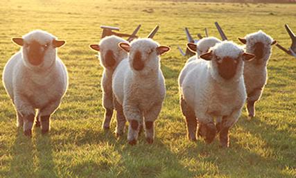 Sobre la reproducción, cría y apareamiento de ovejas