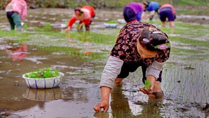 cultivando arroz en ASIA