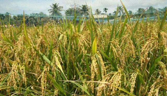 ¿Quien cultiva el arroz? conoce todo sobre los diferentes productores