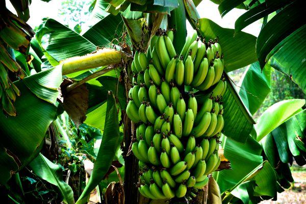 Como crecen y como son las plantas o matas de bananos