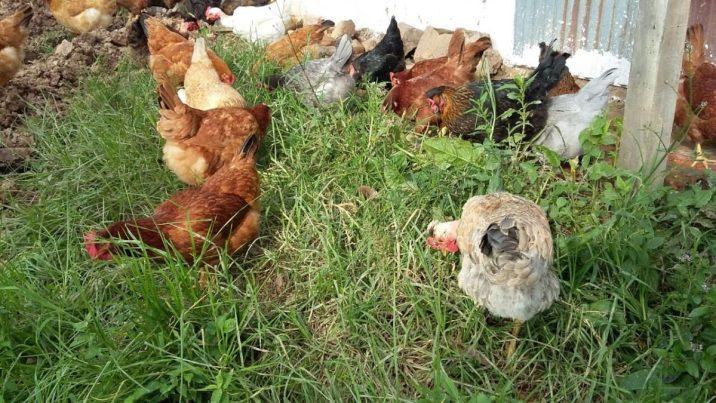 gallinas criollas2