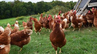 datos curiosos pollos