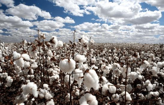 Aplicaciones y usos del algodón en tiempos modernos