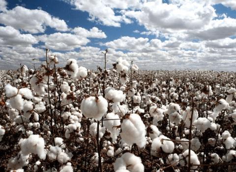 usos del cultivo de algodon