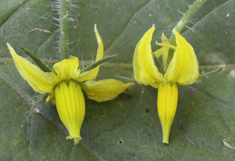 ¿Qué causa la caída de la flor en los tomates?
