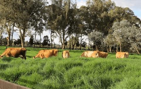 Vacunas de ganado en Australia
