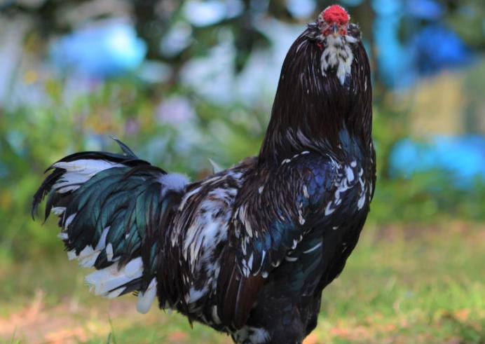 Acerca de los pollos rusos de Orloff