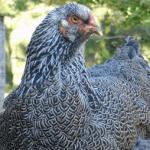 como hacer que una gallina ponga más huevos