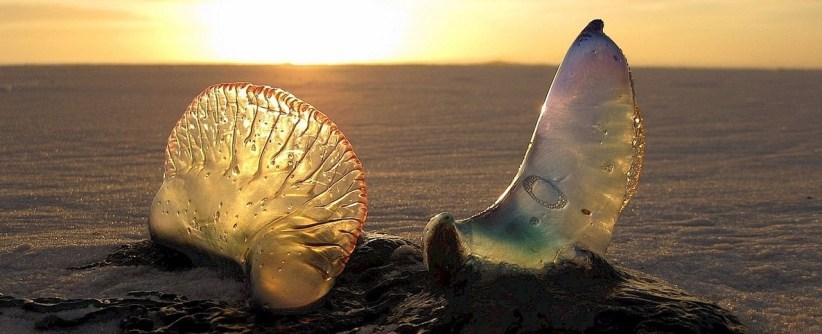 La medusa: Temida compañera de surf