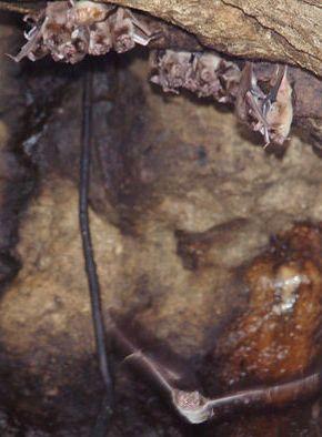 Vampiros en grutas de Uruguay