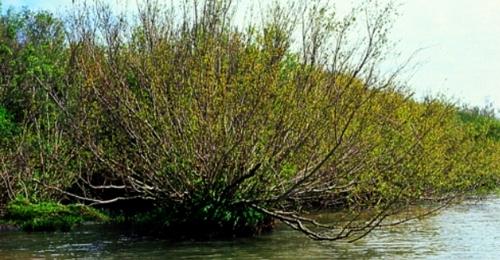Arbusto sarandí blanco
