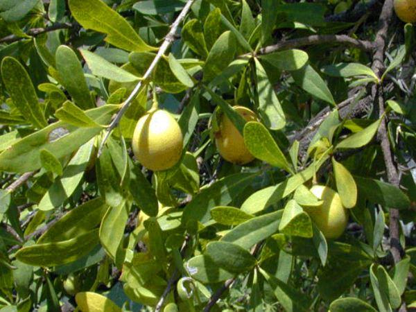 Frutos del quebracho flojo