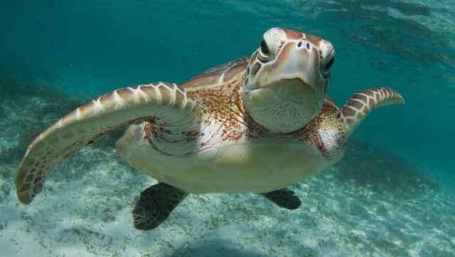 Tortuga marina nadando
