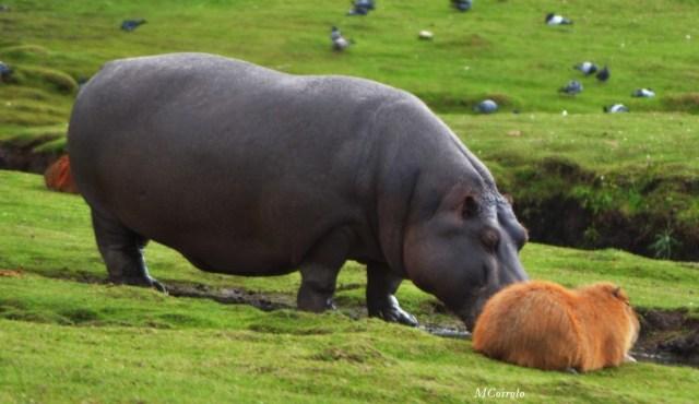 Hipopotamo la pancha