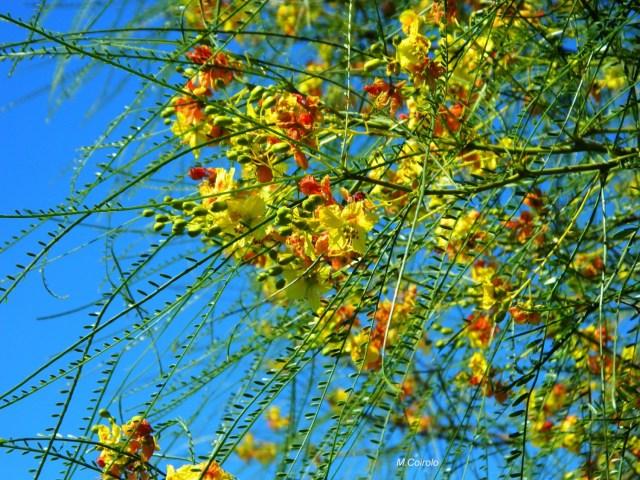 Flores cinacina