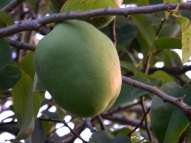 Fruto membrillo