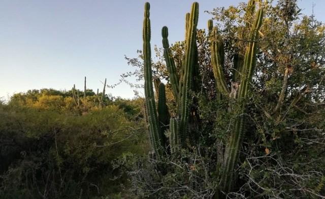 Ejemplares silvestres de cactus candelabro