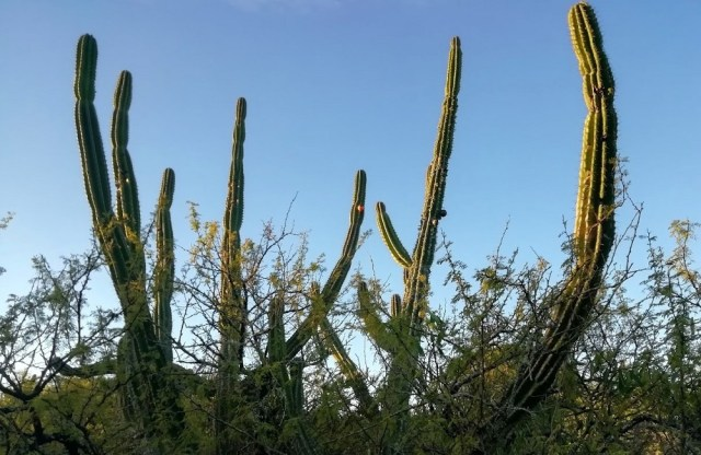 Cactus candelabro con fruto