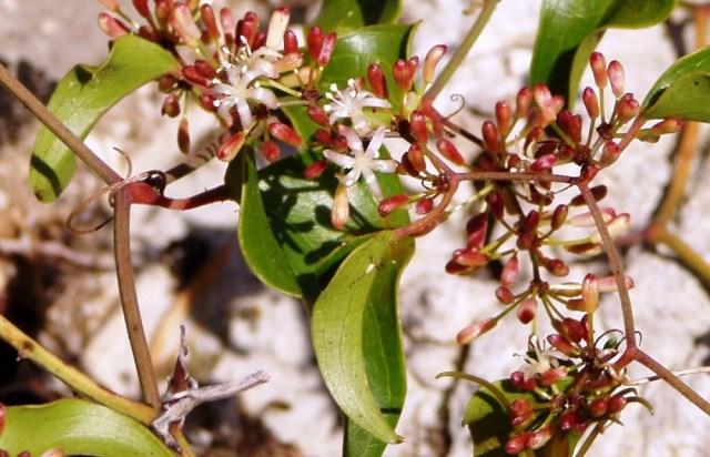 Hojas y flores de la zarzaparrilla